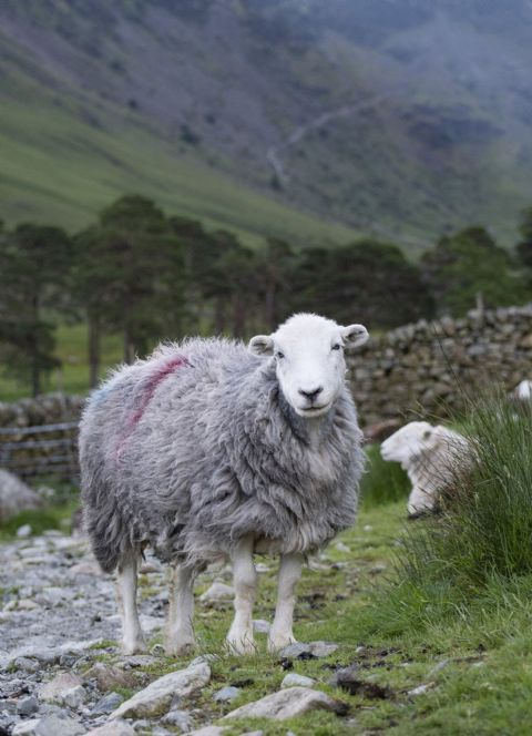 Blocking the Path Herdwick Sheep Greetings Card